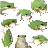 Frog Collage Royalty Free Stock Photos