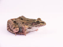 Frog. Common frog against white background royalty free stock photos