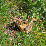 Frog. A common frog in a alpine lake Royalty Free Stock Photography