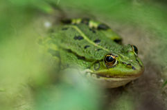 Frog. Stock Photography
