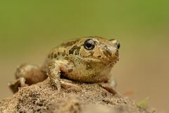 Frog Common Spadefoot - Pelobates fuscus Stock Image