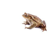 Frog or Common toad (Bufo bufo) Stock Photo