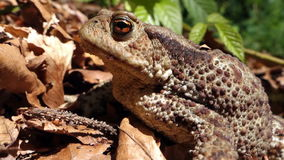 Frog - Common Toad (Bufo bufo) in the wild stock footage