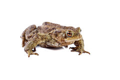Frog or Common toad or european toad (Bufo bufo) Royalty Free Stock Photography