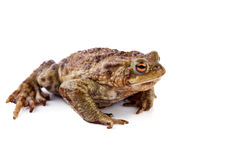 Frog or Common toad Stock Photo