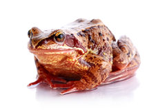 Frog. Stock Photos