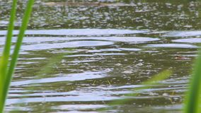 Frog and coot. Frog hiding under the water when it swims bird coot stock video footage