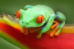 Frog from Costa Rica. Beautiful frog in forest, exotic animal from central America, red flower. Red-eyed Tree Frog, Agalychnis cal. Frog from Costa Rica Stock Images