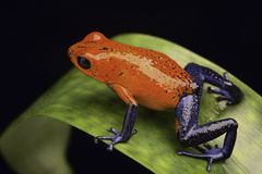 Frog Costa Rica. Frog from the tropical rain fortest of Costa Rica Dendrobates pumilio Guapiles (blue jeans) or strawberry poison arrow frog Royalty Free Stock Image