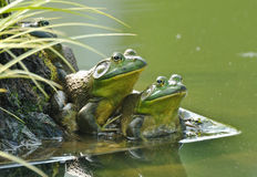 Frog couple Royalty Free Stock Images