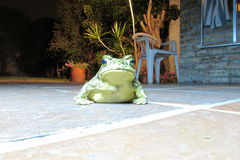 Frog in the courtyard. Green frog looking us close up Royalty Free Stock Images