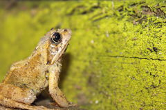 Frog Covered in Dirt. Stock Photography