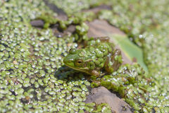 Frog covered with duckweed in pond Stock Images