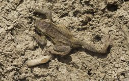 Frog crawling in the dirt. Frog crawling in the dry land royalty free stock images