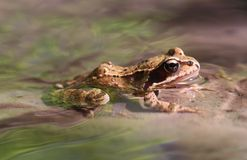 Frog in Creek. Macro shot of frog sitting in the spring creek surrounded by water Stock Photography