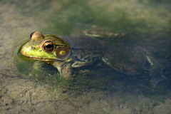 Frog in the Creek Stock Photos
