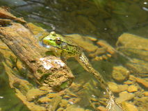 Frog in Creek Royalty Free Stock Photography