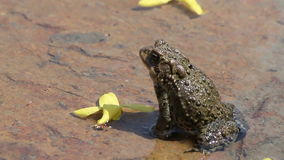 Frog croaking with large vocal sac stock video