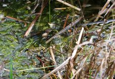 Frog croaking in a pond. Madrid botanical garden royalty free stock image