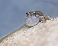 Frog Croaking on a Rock Stock Photos