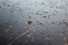 Frog croaking on the surface of the water Royalty Free Stock Image