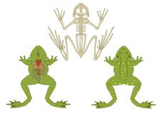 Frog, cross-section and skeleton Royalty Free Stock Photos