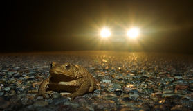 Frog crossing the road at night. Car approaching from behind Royalty Free Stock Photography