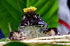 Frog with crown Stock Photos
