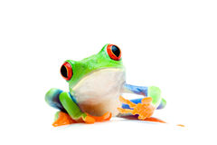 Frog curious isolated on white. Frog curious and sitting on round surface - macro isolated on white. Agalychnis Callidryas Stock Photos