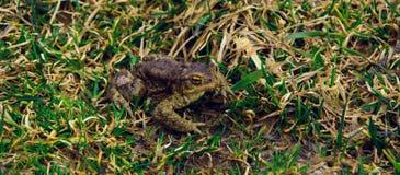 Frog dares. Frog after hibernation. the spring frog Stock Image