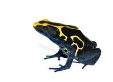 Frog Dendrobates tinctorius Stock Image