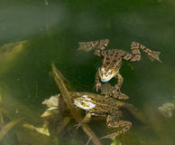 Frog. Detail of some frogs in water Stock Photography