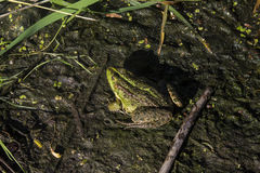 The frog. Did you see the frog? it's a real chameleon Royalty Free Stock Images
