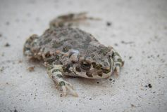 The frog disguises itself on a gray background royalty free stock photo