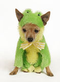 Frog dog. A tiny chihuahua dressed up in a frog outfit Stock Photography