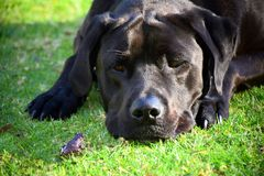 Frog and Dog. A frog and black Labrador on grass Royalty Free Stock Photo