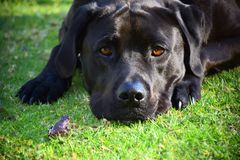 Frog and Dog. A frog and black Labrador on grass Stock Photography