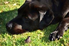 Frog and Dog. A frog and black Labrador on grass Stock Image