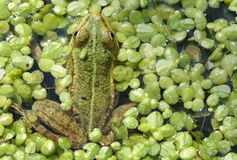 Frog in a duckweed Stock Photo