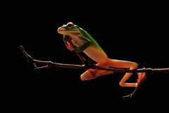 Frog.Dumpy,Animals Royalty Free Stock Photo