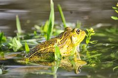 Frog in early morning rainy day Royalty Free Stock Photo
