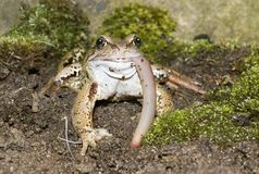 Frog Eating Head On View Royalty Free Stock Photography