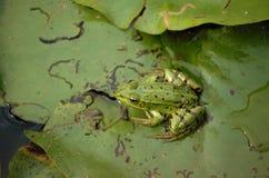 Frog ecology image Stock Image