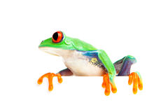 Frog on edge isolated white stock images