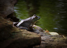 Frog at the Edge of the Water stock photography