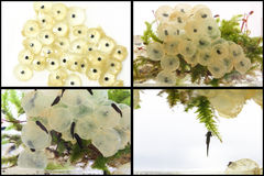 Frog eggs hatching process Royalty Free Stock Image