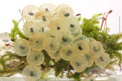 Frog eggs hatching process 2 Royalty Free Stock Photo