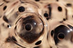 Frog eggs Stock Photography