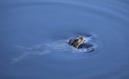 Frog. Enjoying the spring water royalty free stock images