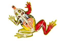 Frog entrails model. Stock Photos